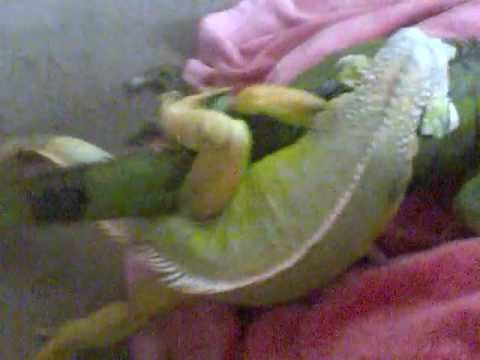green iguana mating by assist