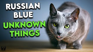 Russian Blue Cats: 10 Incredible Things You Probably Didn't Know