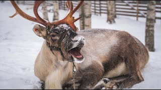 Best of funny reindeer of Santa Claus Lapland Father Christmas Finland Rovaniemi video for children