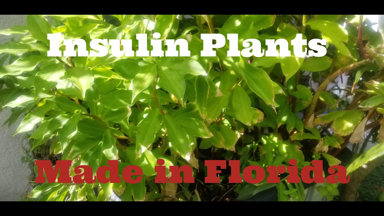 How to grow Insulin Plant, Chamaecostus cuspidatus Medicinal plant for  diabetes treatment, Fiery Cos