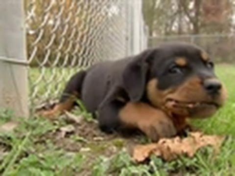 Timeout for Rottweiler Puppy | Too Cute