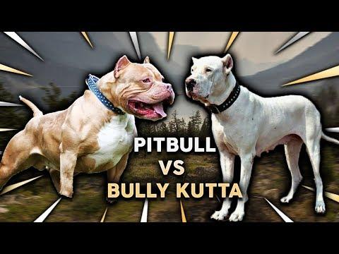Pitbull Vs Bully Kutta Youtube