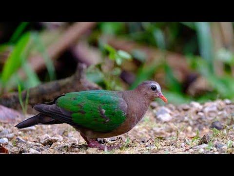 Pakan Dan Cara Meloloh Burung Punai Tanah Burung Delimukan Youtube