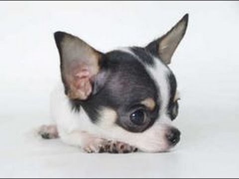 Adorable Teacup chihuahua (Adult)