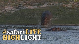 Large male hippo shows a young rival who's boss!