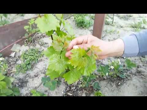 Нормировка виноградных кустов зелеными побегами.