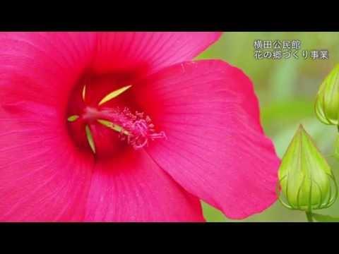 金山町 横田公民館花の郷づくり事業 タイタンビカス開花