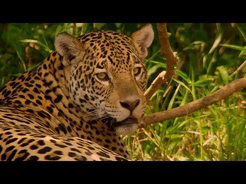 Jaguar Mating In Brazil - BBC Earth