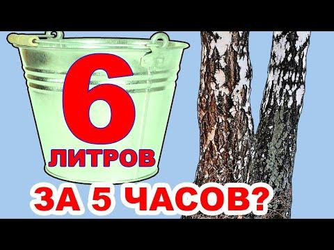 Березовый сок. Как собирать берёзовый сок БЫСТРО при походе в лес весной