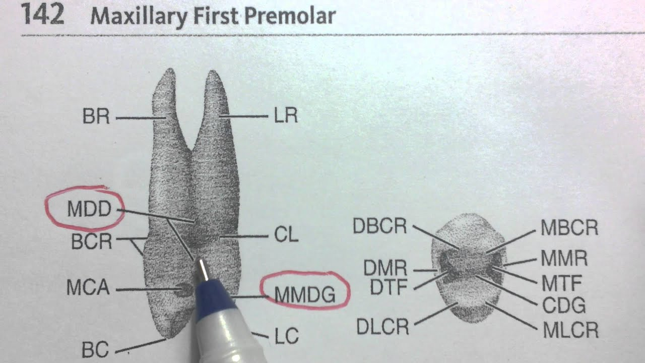 Maxillary Right First Premolar - Mesial aspect - YouTube