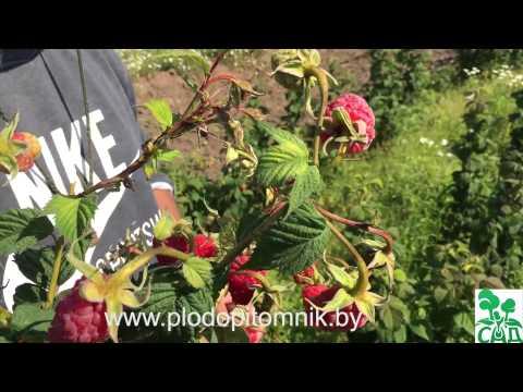 Малина сорт Маросейка, плодоношение в 2015 году. | крупноплодная | маросейка | русская | малины | малина | летние | сорта
