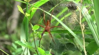 イオウイロハシリグモ(赤茶)Dolomedes sulfueus