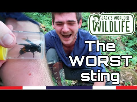 Download THE WORST sting!  Giant Asian Hornet: Vespa tropica