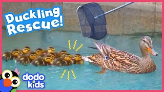 Rescuer Won't Leave Littlest Duckling Behind | Rescued! | Dodo Kids