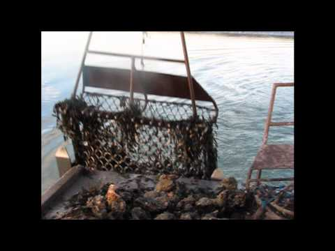 Colchester Oyster Fishery