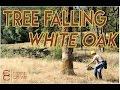 Falling Dangerous Oak Trees