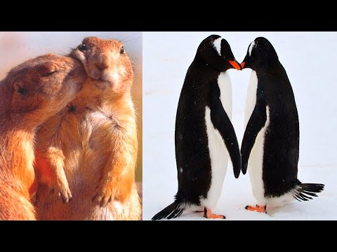 The MOST FAITHFUL SPECIES In The Animal Kingdom   Special for Valentine's Day