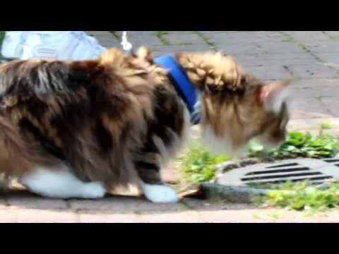 Maine Coon Walking on leash at park