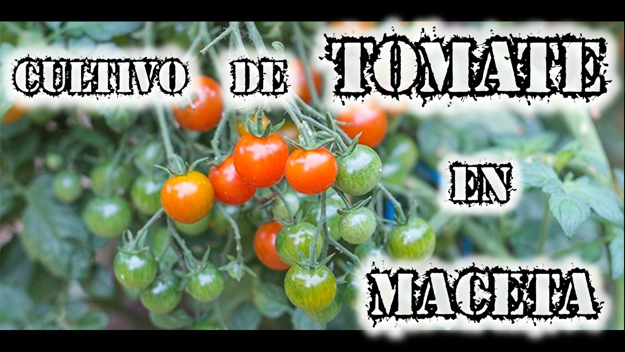 c mo cultivar tomates en maceta huerto urbano youtube. Black Bedroom Furniture Sets. Home Design Ideas
