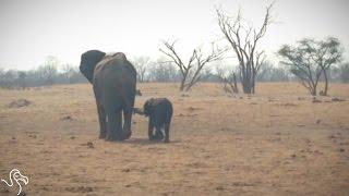 Baby Elephant Needed Help - FAST