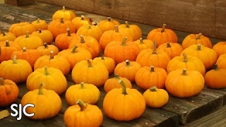 Growing Mini-Pumpkins - How to sow