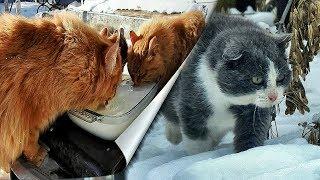 #1 Кошки и Молоко Frost, Winter, Koshlandia, Siberian Farm cats, Деревенские кошки
