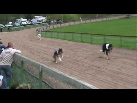 Borzois run 480 m @ Hyvink 17.05.2012