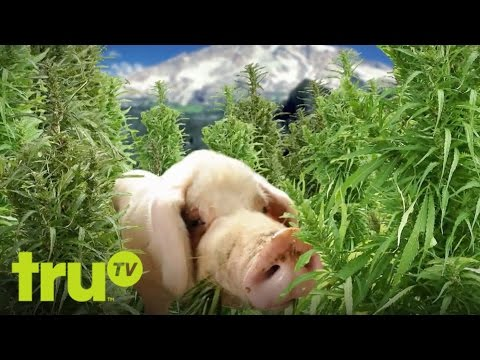 Six Degrees of Everything - Pigs: They're Just Like Us!