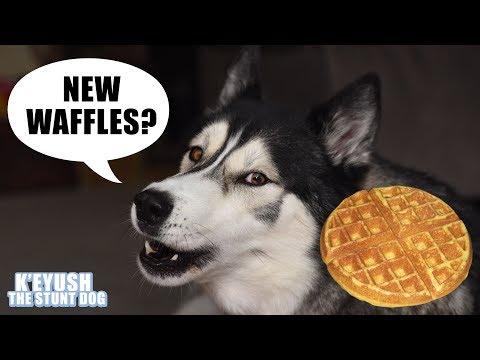 Demanding Husky NEEDS His Waffles | New Waffle Iron