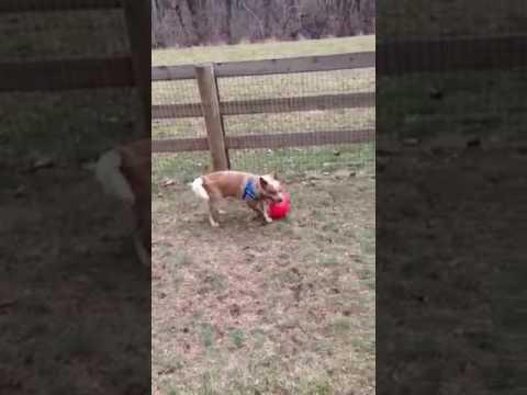 ACDRA foster dog Wrangler - 2 of 2