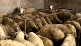 Elevage de moutons au Maroc El Jadida