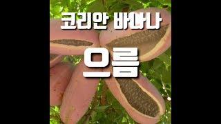 한국에서도 바나나가 열린다?! 코리안 바나나 - 으름 …