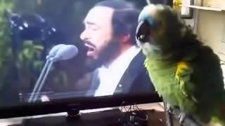 Попугай поет лучше Баскова!!!