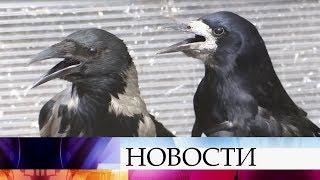 В России участились жалобы на нападения ворон на людей.
