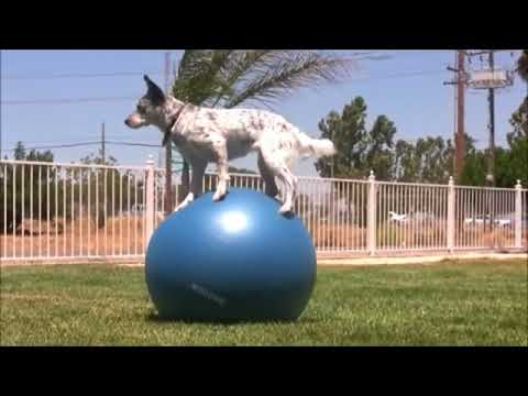funny dogs compilation, best pets agility, amazing dog talent, clever canine tricks