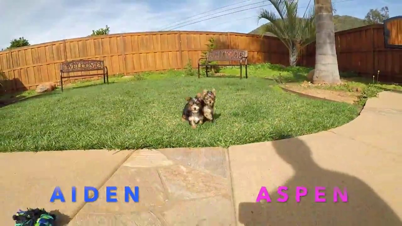 Aiden and Aspen - TINY Parti Yorkie puppies for sale in San Diego, CA