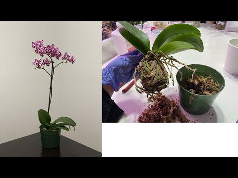 What To Do When You Have Root Rot On Your Orchids (Beginner's Guide)