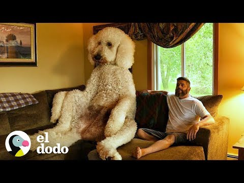 Perro gigante pesa sobre 200kg | El Dodo
