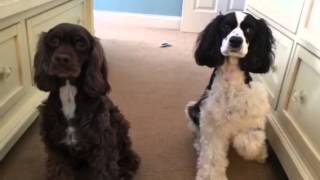 The Cash Cocker Spaniels