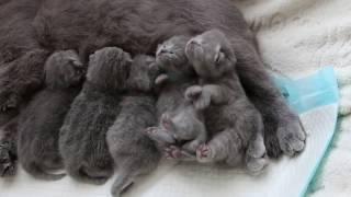 british kittens 10 days / британские котята 10 дней купить