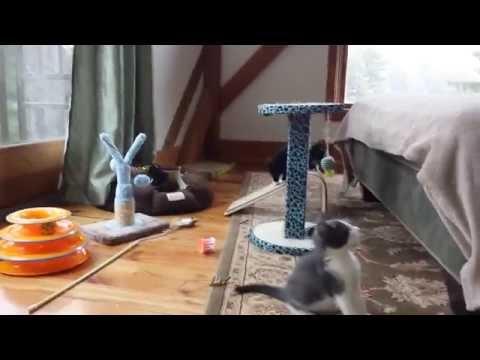 Captain, the FIP kitten - YouTube