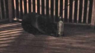 Bear In Backyard.mp4