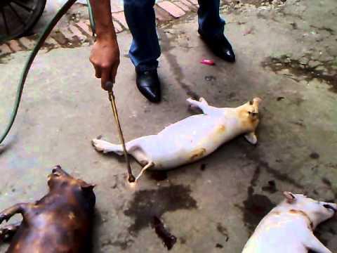 biến lợn thịt thành như lợn gỗ