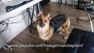 Smart German Shepherd