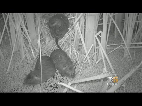 California Officials Declare Emergency Over Invasive Nutria