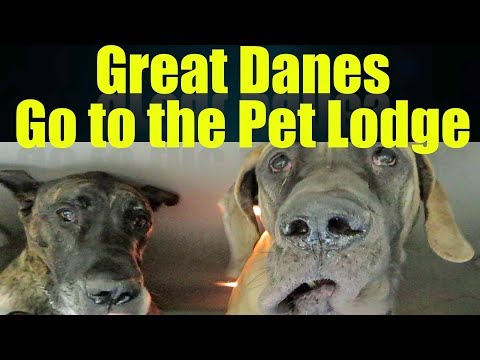 Finn & Magic the Great Danes go to the Pet Lodge