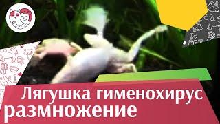 Лягушка гименохирус Размножение на ilikepet