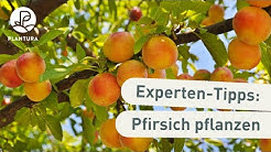 Pfirsichbaum pflanzen: Unsere Experten-Tipps (Anleitung)