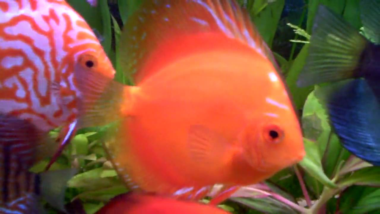 Discus...Orange Pigeon Blood, Red Melon, Crystal - YouTube