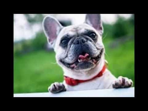 How to Breed French Bulldogs